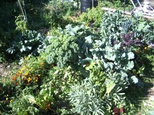 a Backyard Harvest garden - early October 2009
